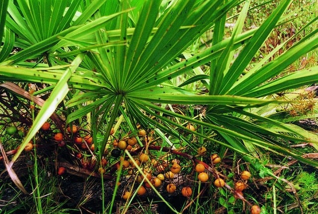 Saw Palmetto: Nature's hair loss supplement