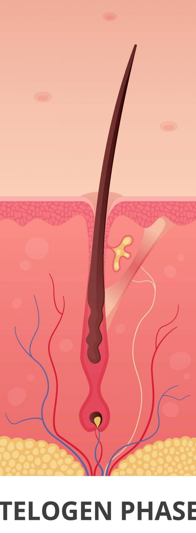 The telogen phase of the hair growth cycle